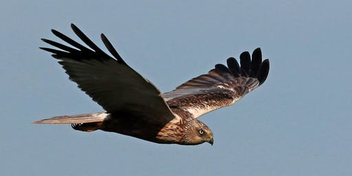 Marsh Harrier Survey & Breakfast