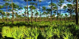 Sugar Sands and Pine Forests