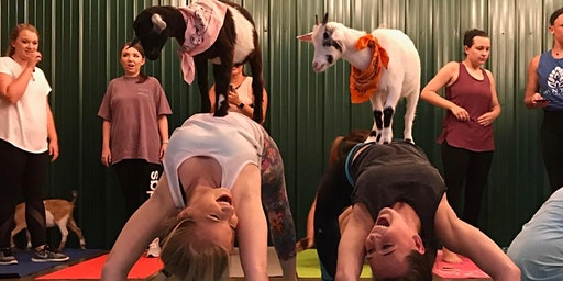 Indoor Goat Yoga by Shenanigoats with Lucy