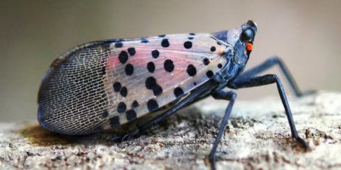 Spotted Lanternfly: Lunch-and-Learn