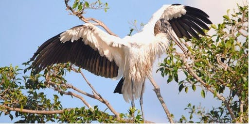 WOODSTORKS - From Everglades birds to urban dwellers