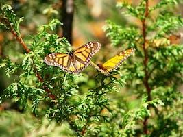 """""""Roar of the Monarch Butterfly"""""""