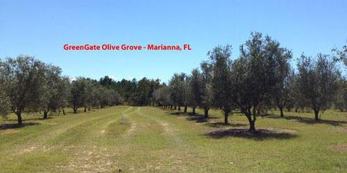 North Florida Olive Field Day