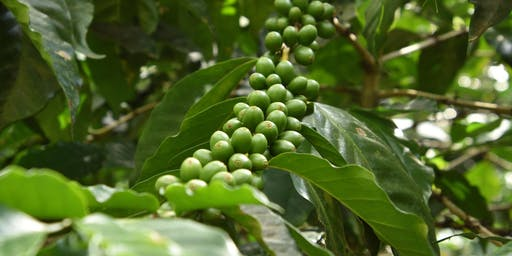 Let's taste and talk about Guatemalan coffee!