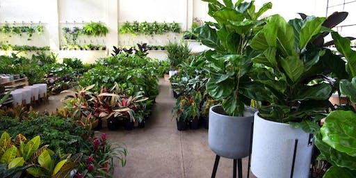 Huge Indoor Plant + Pot Warehouse Sale