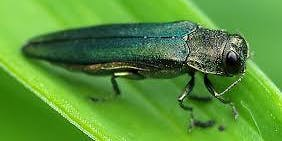 Lecture on Emerald Ash Borer