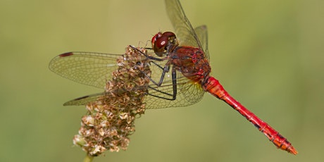 An introduction to Dragonflies and Damselflies tickets
