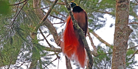 Birds of Paradise and the big Sing-Sing – an adventure in Papua New Guinea tickets