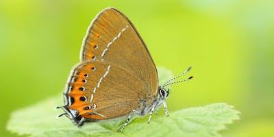 Introduction to Hairstreak Butterflies Workshop