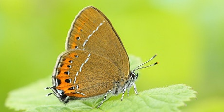 Introduction to Hairstreak Butterflies Workshop tickets