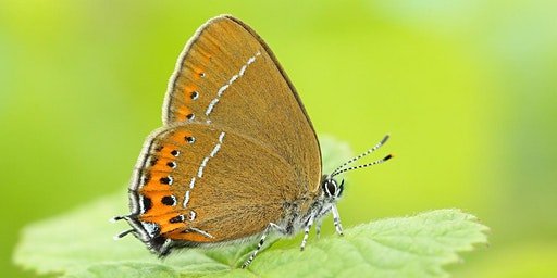 Introduction to Hairstreak Butterflies Workshop