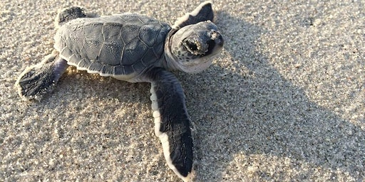 Girl Scout Sea Turtle Patch Program Earning Event
