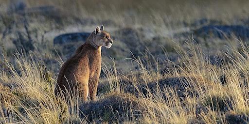 Winter Pumas of Patagonia ~ 2020
