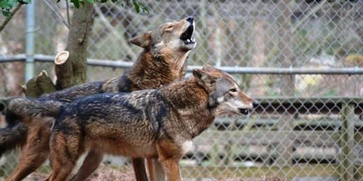 Endangered American Red Wolf Sculpture Unveiling & Artist Reception