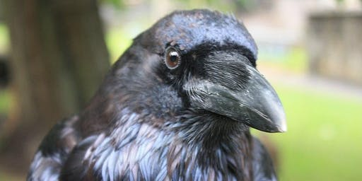 Crow and Raven Bio-Ecology & Behavior: for Adults