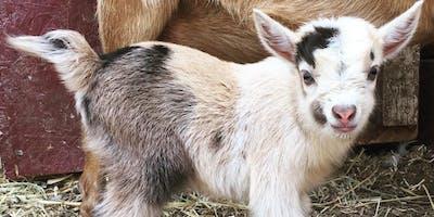 Mini Goat Yoga at The ***** Farmhouse