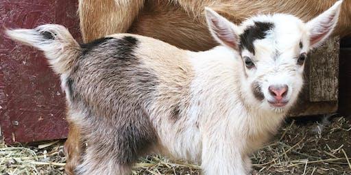 Mini Goat Yoga at The CABRA Farmhouse
