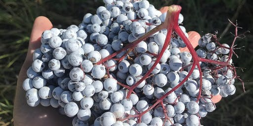 Elderberry 101: Celebrating the Season with Elderberry Syrup Making