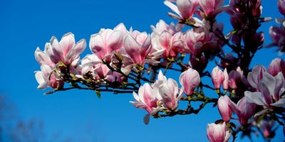 Curator's Tour: Behind the Blooms - Magnolias, Camellias and Rhododendrons. Sunday 30 August 2020