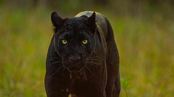 """National Geographic Live! Pursuit of the Black Panther"""