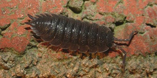 Drop-in Session - Woodlice