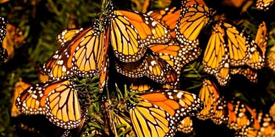 Monarch Butterflies: Protecting a National Treasure