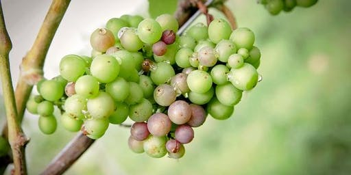 The Art of Growing Grapes for Wine