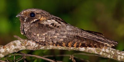 IJAMS BIRDS-N-BAGELS: Owls and Nocturnal Birds