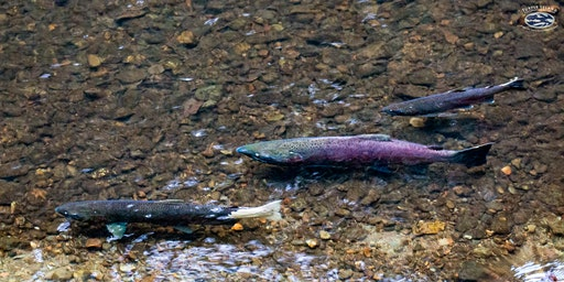 Coho Salmon Creekwalk Tours