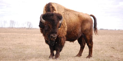 2020 Great Spirit Bison Show and Sale