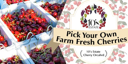 Pick Your Own at 10's Estate Cherry Orchard in Mudgee (21 - 24 Nov 2019)