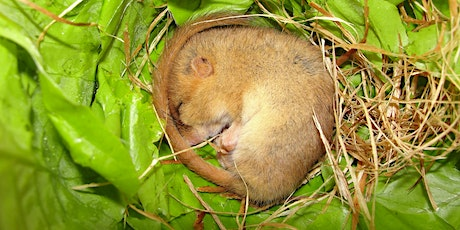 Dormouse Ecology & Conservation - Callow Rock, Somerset - FULLY BOOKED tickets