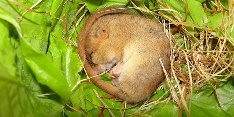 Dormouse Ecology & Conservation - Callow Rock, Somerset - POSTPONED tickets