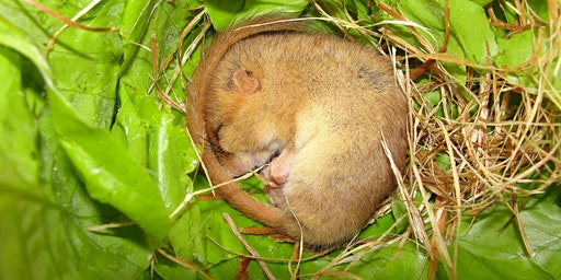 Dormouse Ecology & Conservation - Callow Rock, Somerset