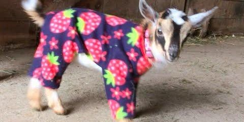 Goat Yoga with Baby Goats in Pajamas