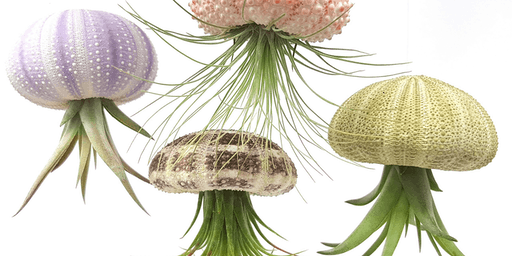 ART-IN-ACTION Create An Air Plant Sea Urchin