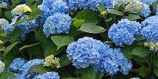 Hydrangeas – How to Plant, Grow and Prune
