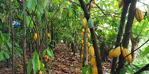 Hilo Cacao Orchard Tour and Chocolate Tasting