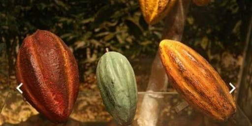 Cacao And Chocolate Health Benefits