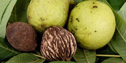 Black Walnuts - A Botanical and Culinary Adventure