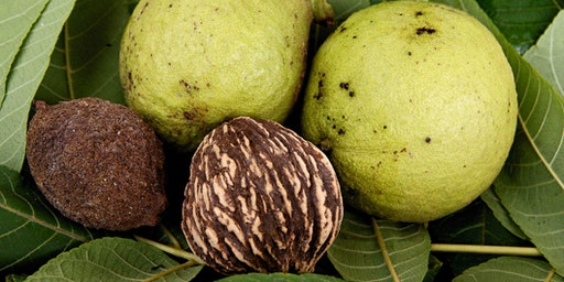 Black Walnuts - A Botanical and Culinary Adventure