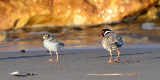 Introduction to Hooded Plovers