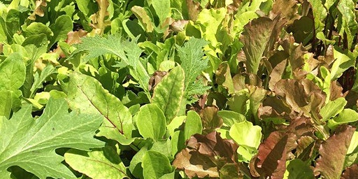 How to grow a baby leaf salad in crop in 1 square metre of space