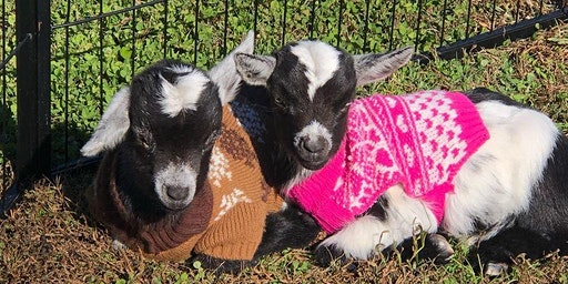 Painting with Baby Goats in  Christmas Sweaters