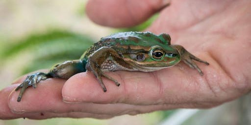 Learn about local frogs and how to listen for them