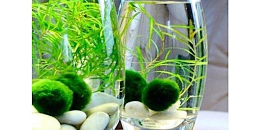 Marimo Moss Ball Habitat Workshop (04-25-2020 starts at 6:00 PM)