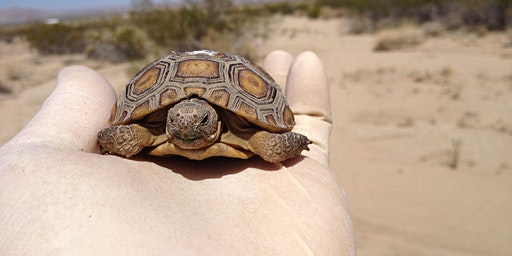 Desert Tortoise Conservation Biology Spring 2020 (Biology x412.18 1 unit)