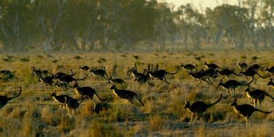Commercial Kangaroo Harvesting