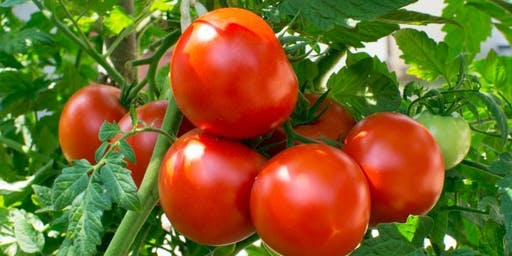 The ABC's of Growing Luscious Tomatoes