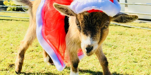 Christmas Eve GOAT YOGA! Coffee, Cocoa, & Candy Canes!